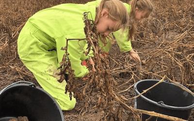 Zelf aardappelen oogsten van de klei!