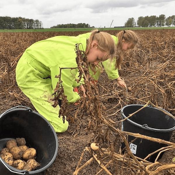 oogst zelf je aardappelen